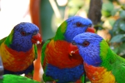 Rainbow Lorikeets feeding time