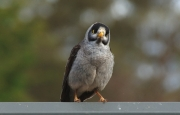 Cheeky - Noisy Miner