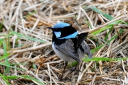 Superb Blue Wren M