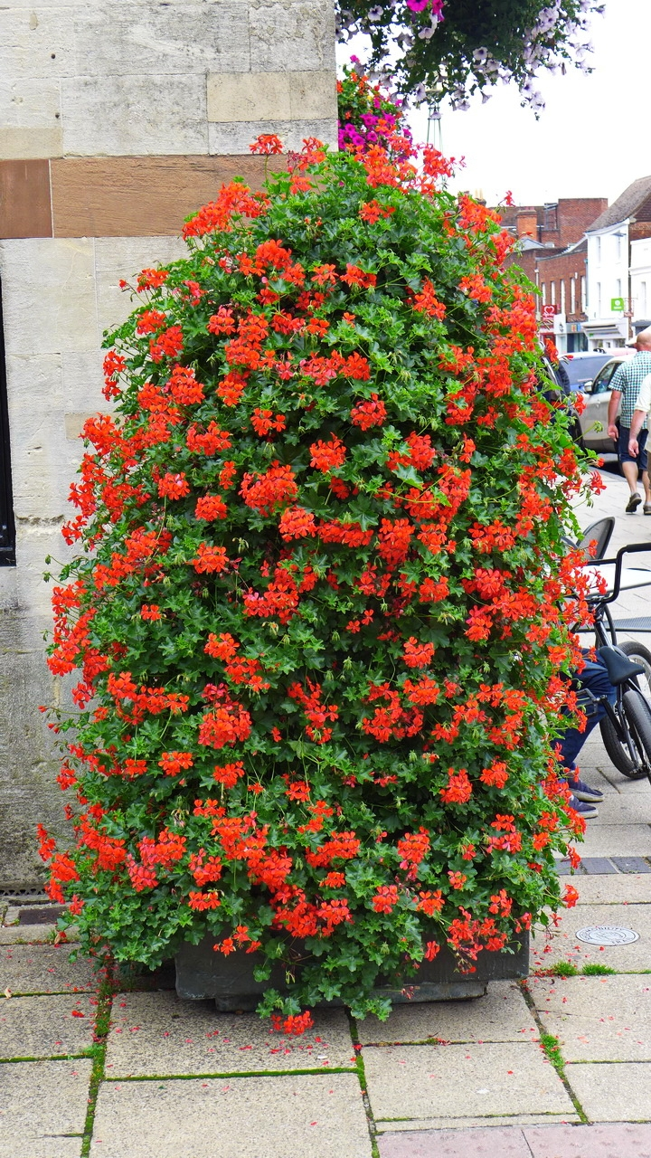 Red, red, red... street flowers, Winchester