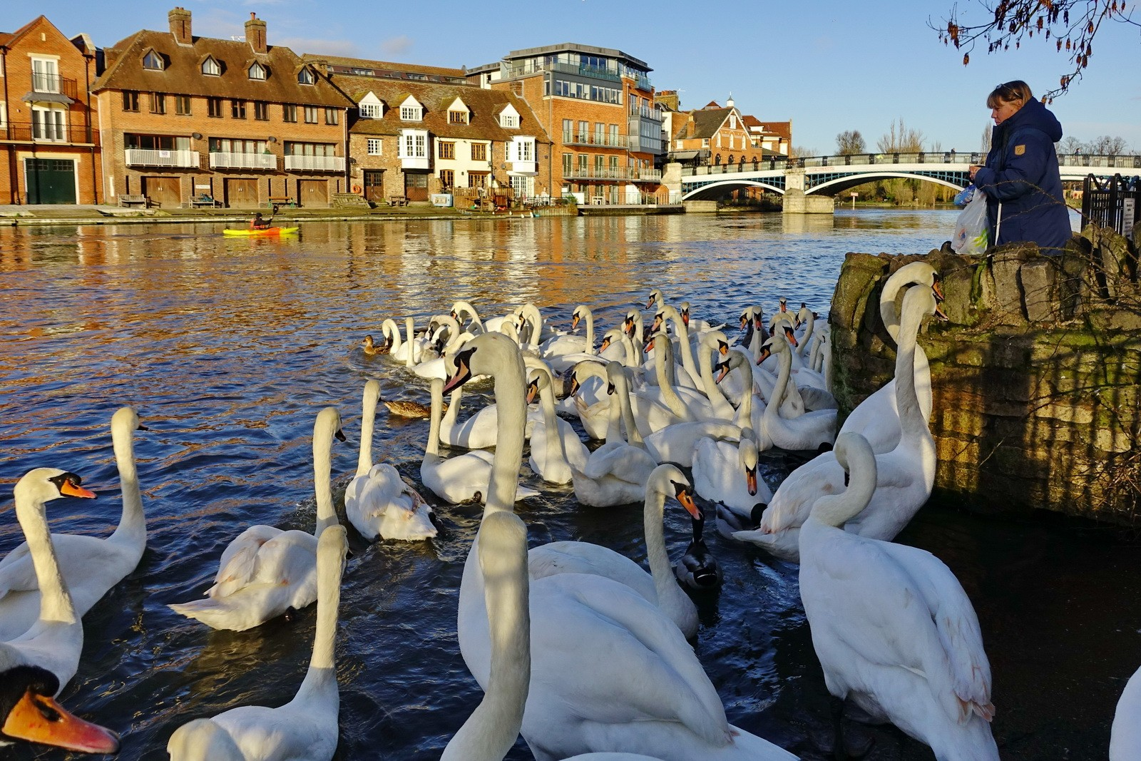 The White Swans of Windsor
